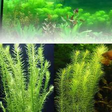 100x Demersum Ceratophyllum Moss Seeds Grass Live Aquarium Plants Fish Tank