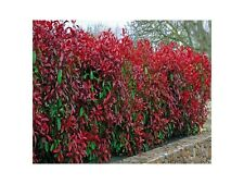 8 Photinia Red Robin Hedging Plants 20-30cm Bushy Evergreen Hedge Shrubs