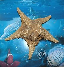 "7"" BAHAMIAN STARFISH SEA SHELL  BEACH DECOR  TROPICAL REEF CRAFTS GRADE B"