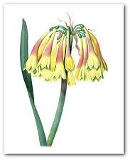 Flower Print, Botanical Cyrtanthus Obliquus Art, 8 x 10 Inches, Unframed