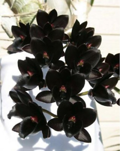 Fdk After Dark Black Pearl Catasetum Big Bloom Size Fragrant FREE SHIPPING