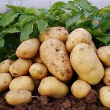 Vegetable Potato Seeds Delicious Nutrition Vegetables, POTATO 100 Pcs Seed SEEDS