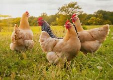 A1 Wild Chickens Animal Farm Poster Art Print 60 X 90cm 180gsm Cool Gift #16908