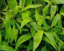 2 Live Plants! Organic Spicy Thai Ginger Root rhizome -  Alpinia Galanga