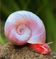 12+Live Pink/Red Ramshorn Snails, Aquarium Pond, Algae Eating Limited Quantity