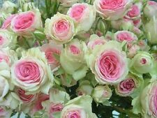 20+ GREEN,PINK AND WHITE ROSE BUSH Seeds       USA SELLER SHIPS FREE