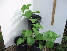 "Cuban Oregano,Oregano brujo,Spanish thyme,Mexican thyme-live Plant 6"""