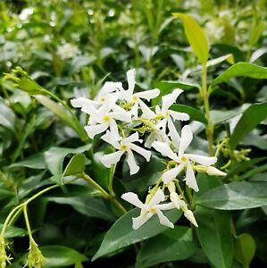 Trachelospermum jasminoides Jasmin Blüte weiß winterhart 123367778