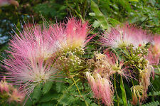 SILK TREE Albizia julibrissin SEEDLING PLANT pink puff flowers SUMMER FLOWERING
