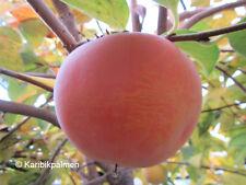 Diospyros KAKI 'Jiro' - Kakibaum - winterharte Pflanze 160-180cm - süße Früchte