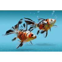 Shubunkin Goldfish Live Tropical Freshwater Aquarium Fish Tank Koi Pond