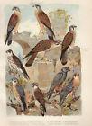 Vögel Falken Merlinfalke Turmfalke Rötelfalke - Farbdruck 1923 Bild Druck Print