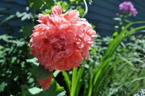 * PEACH PINK POMPOM RUFFLES PEONY POPPY * Flower Seeds * Great Display! *