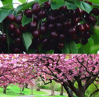 FD1002 Cherry Seeds Mazzard Cherry Prunus Avium Flower Tree Seed Black ~10PCs:)~