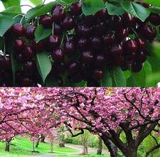 FD1002 Cherry Seeds Mazzard Cherry Prunus Avium Flower Tree Seed Black ~10PCs:)~