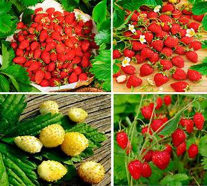 Seeds Alpine Strawberry Giant Regina Aleksandria Yellow Baron Solemacher Organic