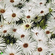 500 Ice Plant Seeds White Livingstone Daisy Seeds Iceplant