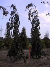 Fagus sylvatica Purpurea Pendula - Hänge Blutbuche Purpurea Pendula - Trauerblut