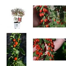 Big Lifeberry Goji Berry Lycium Purple Flowers and Red Fruit 1 Gallon Best Gift