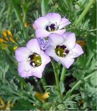 Bird's Eye-  Gilia Tricolor- 200 Seeds - - BOGO 50% off SALE