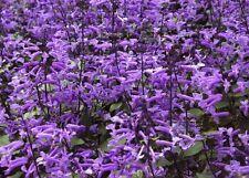 Wahnsinn ! Violetter Blüten-Teppich durch den wunderschönen Ysop !