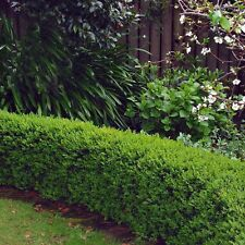 100 x Small Box Hedging Plants 15-18cm. Includes Free Delivery!