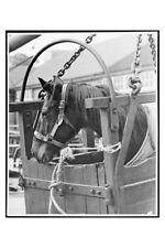 ENTREATY dam of PHAR LAP - July 1938 Sydney racehorse modern Digital Postcard