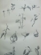 ANTIQUE PRINT DATED C1870S STEM ENGRAVING PLANT BOTANY HORTICULTURAL ETCHING ART
