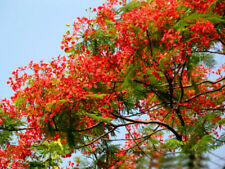 10PCS Rare Royal Poinciana Tree Seeds Home Garden Seed Decor BH159