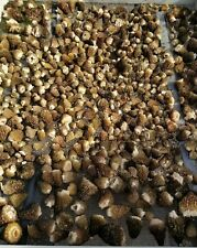 2020 WILD Oregon Dried Morel Mushrooms Whole  - 1oz.