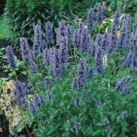 Catmint- Blue- 200 Seeds- BOGO 50% off SALE