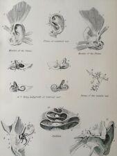 1891 Ear Original Antique Engraving Print Anatomy Medical Organ of Sense