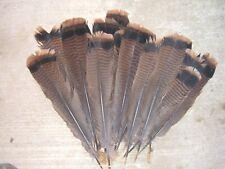 Eastern wild turkey gobbler tail feathers. 12