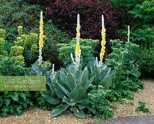 Verbascum bombyciferum (100 graines/seeds)