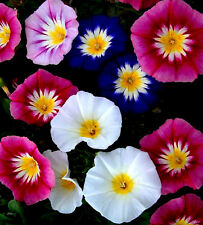 50 Semillas de Convolvulus Mezcla / Flor Anual