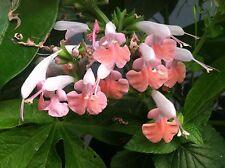 Salvia coccinea Coral Nymph Pink Tropical Sage Pint Plant Free Ship