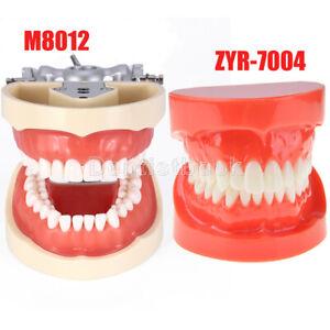 Dental Kilgore NISSIN 200 Type Teach Typodont Demonstration Teeth Model M8012