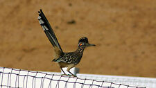 BEAUTIFUL ROADRUNNER FINE ART GREETING CARD
