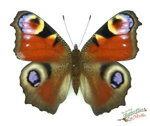 Peacock Real Butterfly Aglias (inachis) io England SET x1 A- British Butterfly