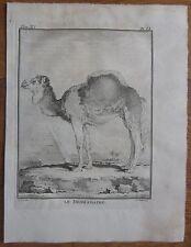 BUFFON: Original Early 4to Print Dromedary - 1782