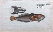 1782 Bloch VERY RARE Original H/C FISH PRINT Uranoscopus scaber STARGAZER L@@K!