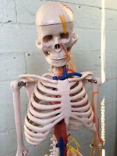 Anatomical Skeleton, Medical Display Model Anatomy Skull