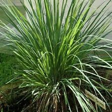 100 LEMONGRASS Lemon Grass Herb Vegetable Ornamental Cymbopogon Flexuosus Seeds