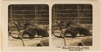 Germania Berlino Zoo c1905 Foto Stereo Vintage Analogica n5