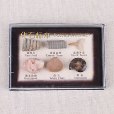 World Fossils Mini Collection - 6 Fossil Display Box Set Shark Tooth Ammonite