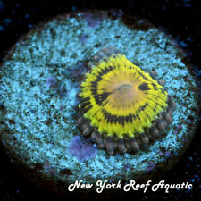 New York Reef Aquatic - 0611 E1 Stratomorph Zoanthid, Zoa, Wysiwyg Live Coral