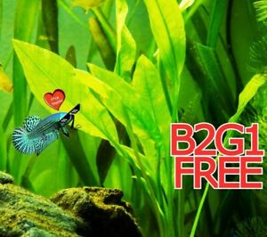 Betta guppies B2G1FREE wort Plantago major Live Fish Tank Plants Aquarium Plant✅