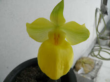 2 growths(2 plants) Paphiopedilum armeniacum