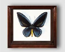 Ornithoptera priamus urvillianus in the frame of expensive breed of real wood