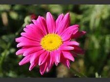50+ Rose Chrysanthemum Coccineum Perennial Flower Seeds / Deer Resistant/ Gift
